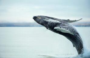 Où et comment observer les baleines en Islande ?