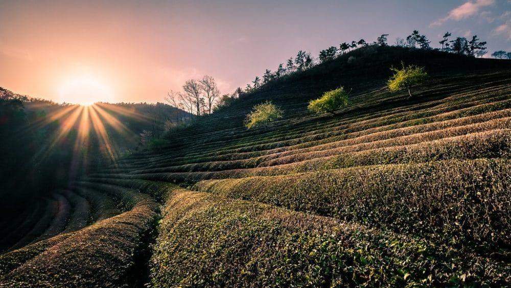 Boseong, Corée du Sud