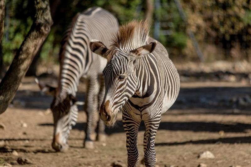 Montpellier - zèbres du zoo de Lunaret