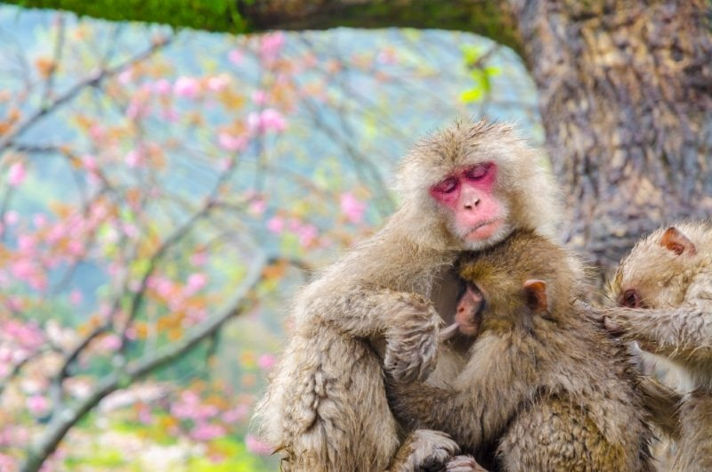 Oita Singes Takasakiyama Nature