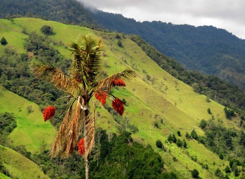 Colombie, verte vallée de Ccocora dans le Parc de Los Nevados