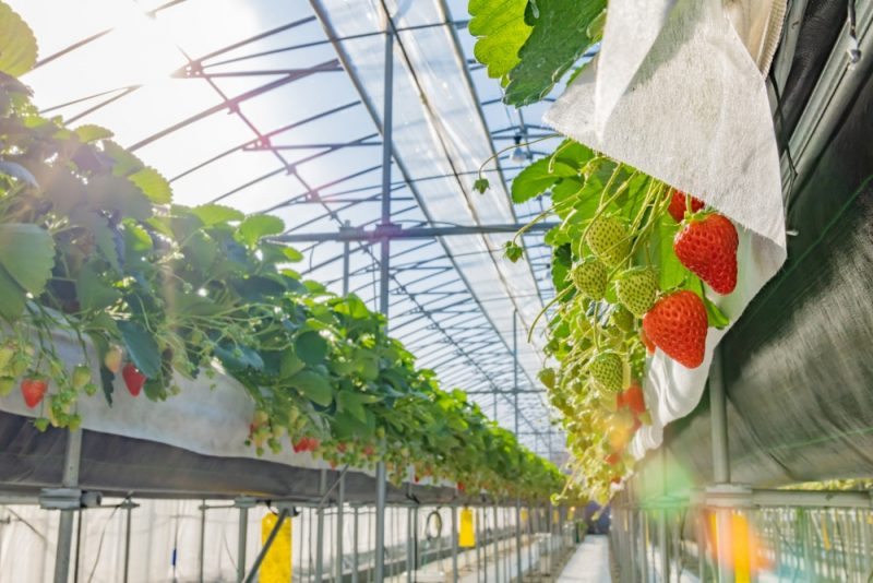 Manger des fraises à Shizuoka