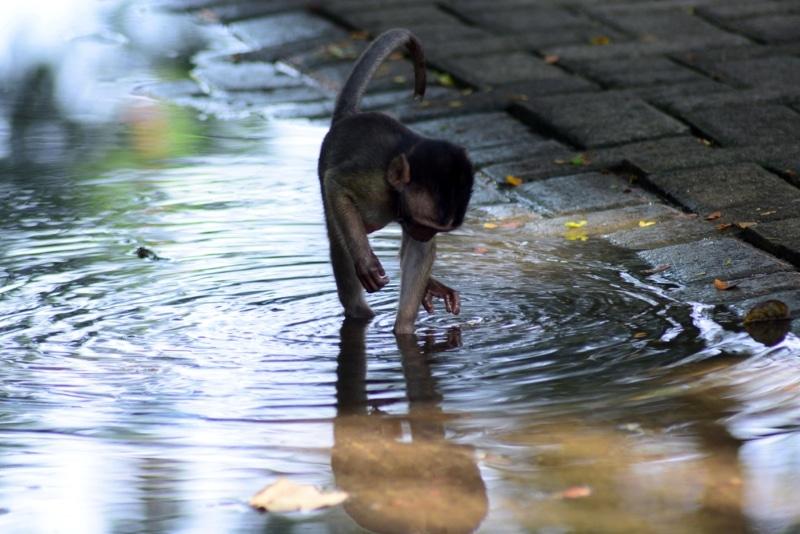 Indonésie singe Mangrove Wonorejo