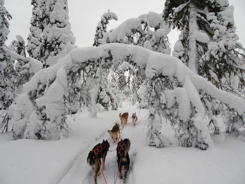 neige abondante dans le Jura mushing