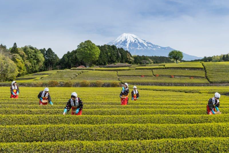 Champ de thé vert à Shizuoka