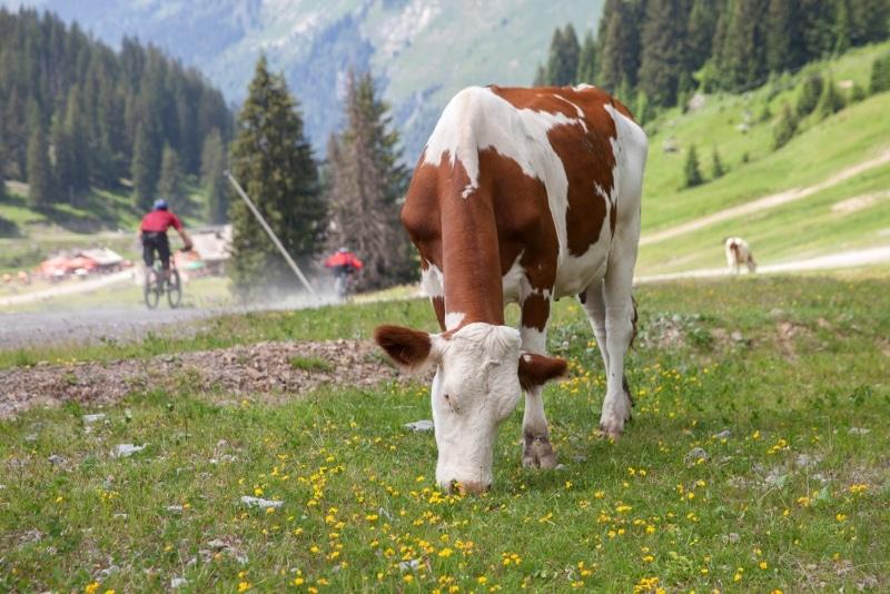 station Les Gets vache et vtt