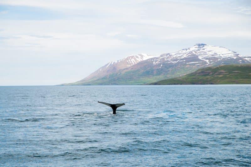 Baleine à Akureyri, Islande