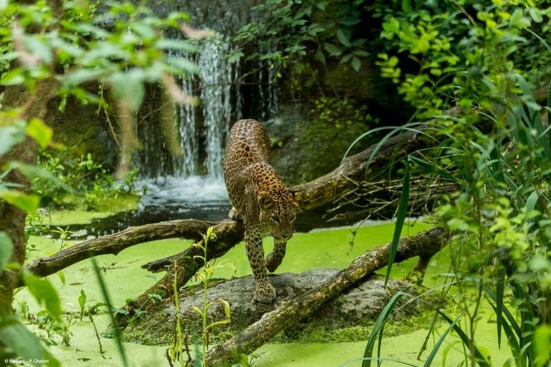 bioparc de doue la fontaine guepard