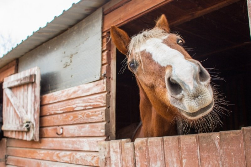 cheval au haras national de pau