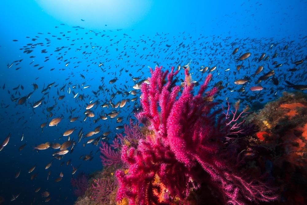 corail et poissons en méditerranée