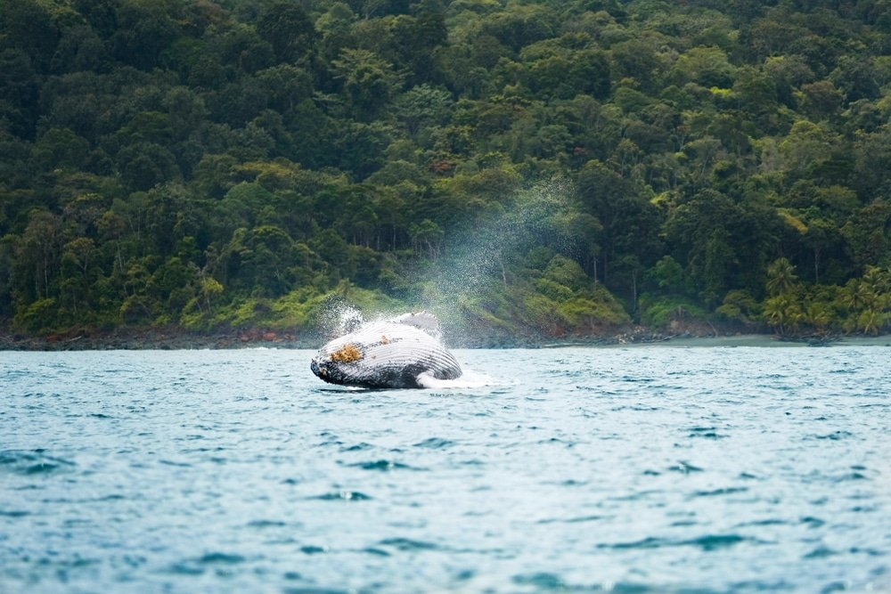 Île de Gorgona, baleine, Colombie