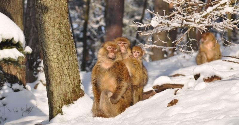 Les meilleurs parcs animaliers de France - la montagne des singes groupe de singes neige