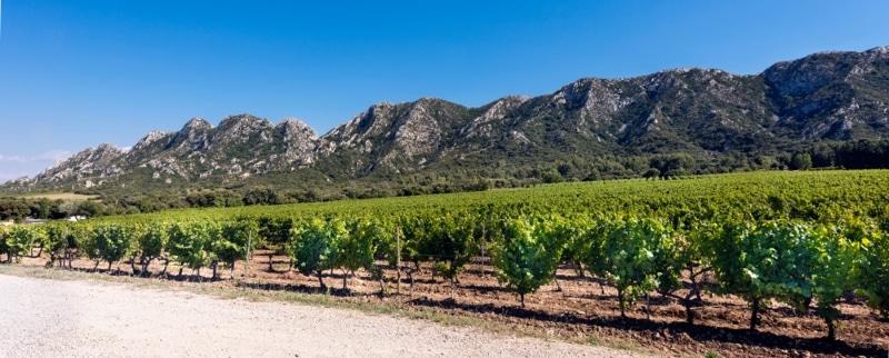 Marché de Saint Remy de Provence vignes et garrigue