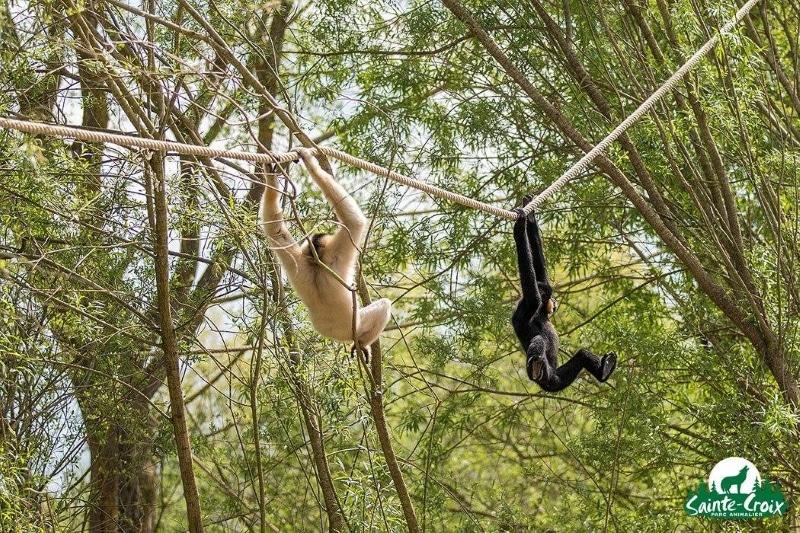 parc de sainte croix deux gibons singes