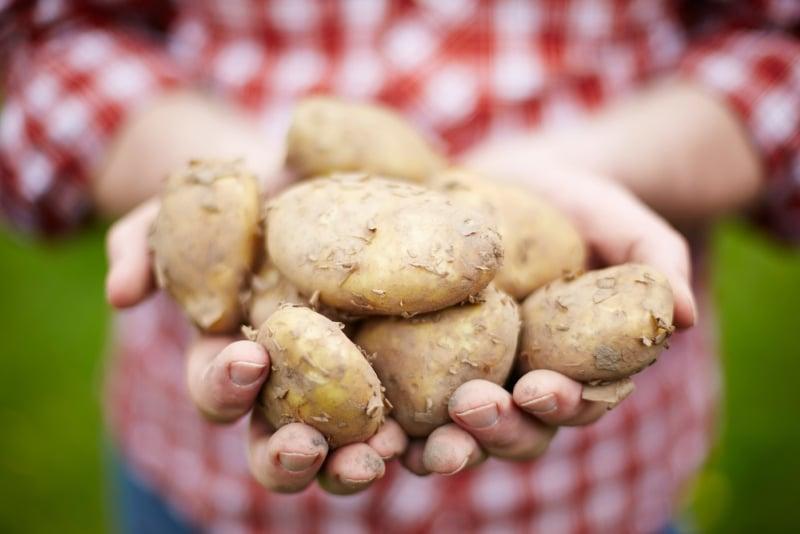 pommes de terre jersey