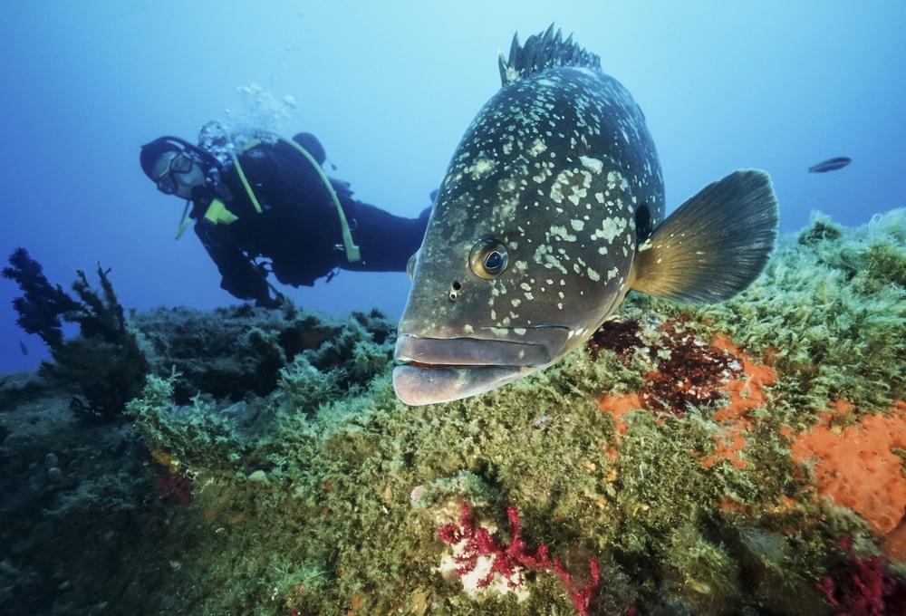 Réserve sous marine Calvi corse merou plongeur