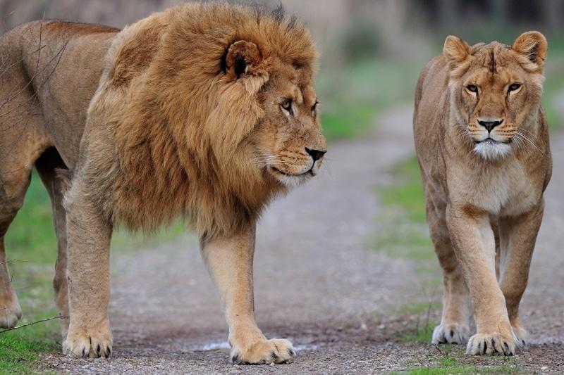 safari de sigean couple de lions - Les meilleurs parcs animaliers de France