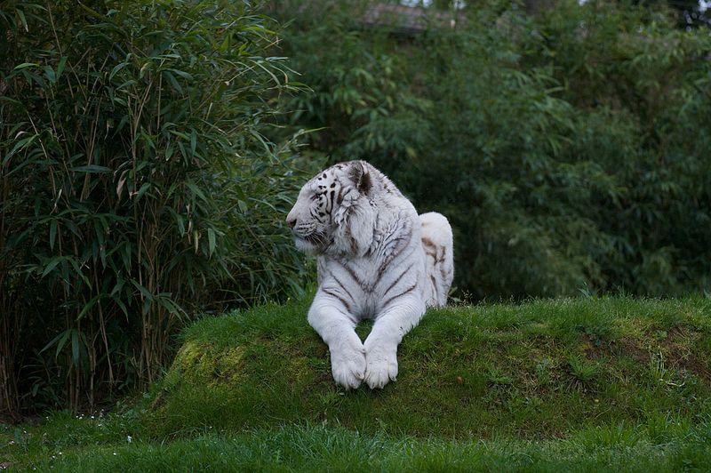 Tigre blanc au Zoo de la Fleche