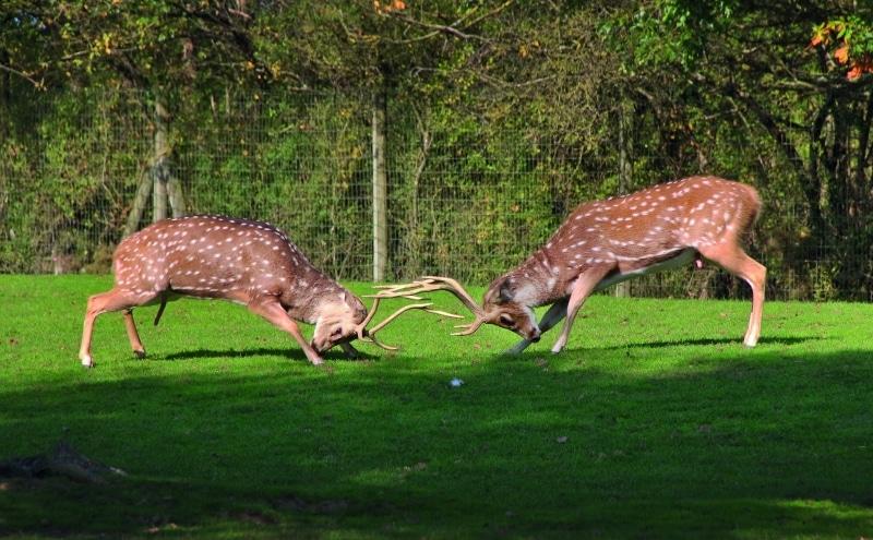 zoo planete sauvage loire atlantique cerfs qui se battent