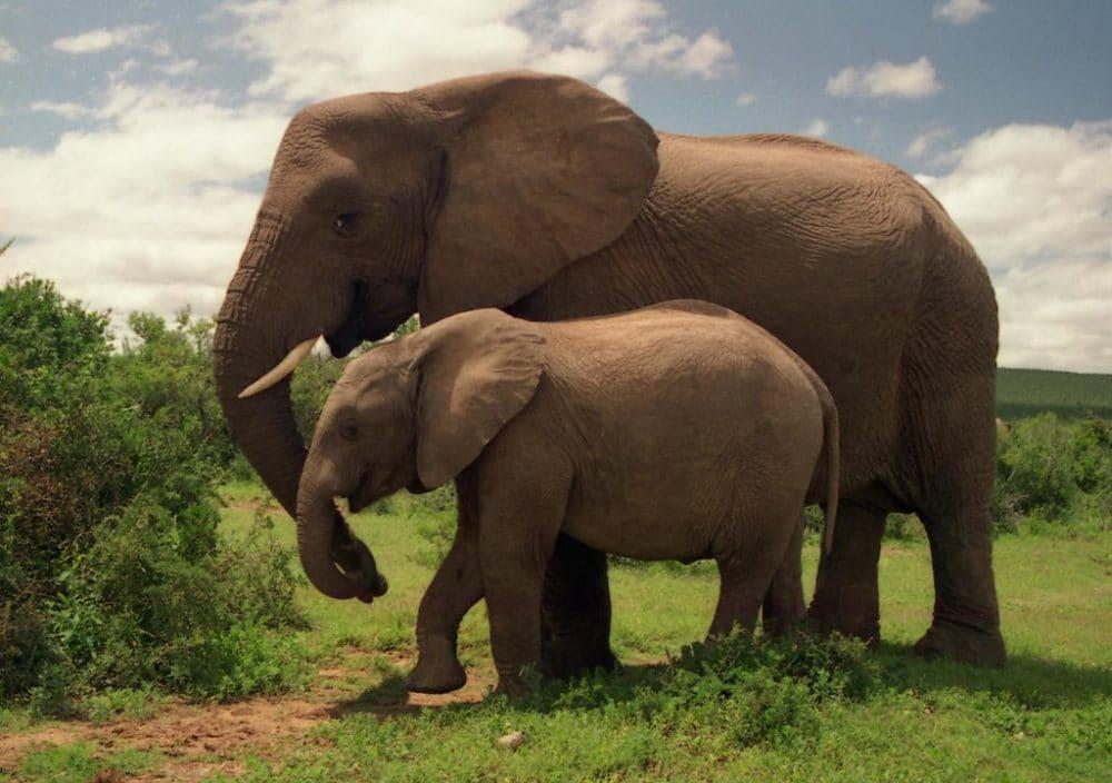 Addo National Park, éléphants