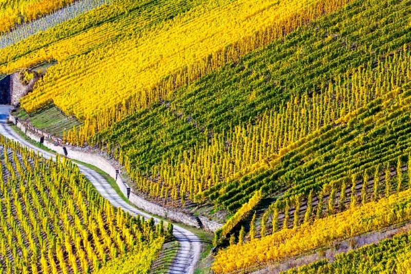 automne vigne moselle vins de lorraine