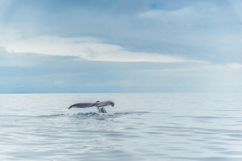 Observer les baleines proches de Reykjavik