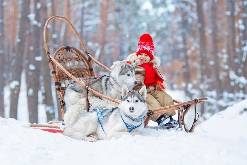 chien de traineau savoie mont blanc jeune enfant et deux huskies