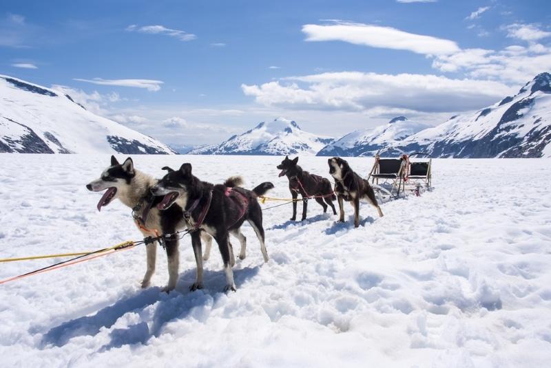 course chien de traineau alaska