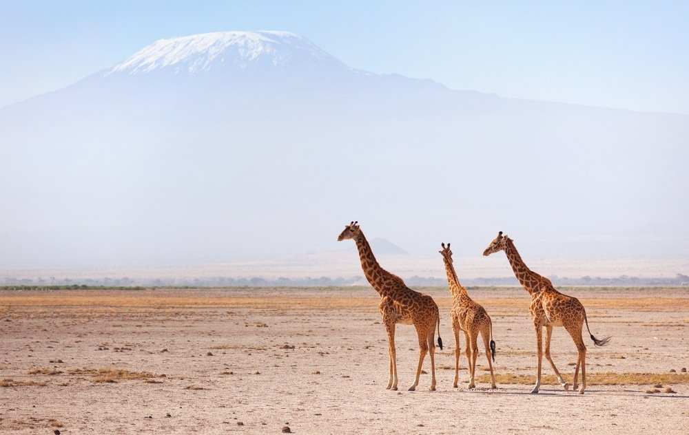 girafes kenya kilimandjaro