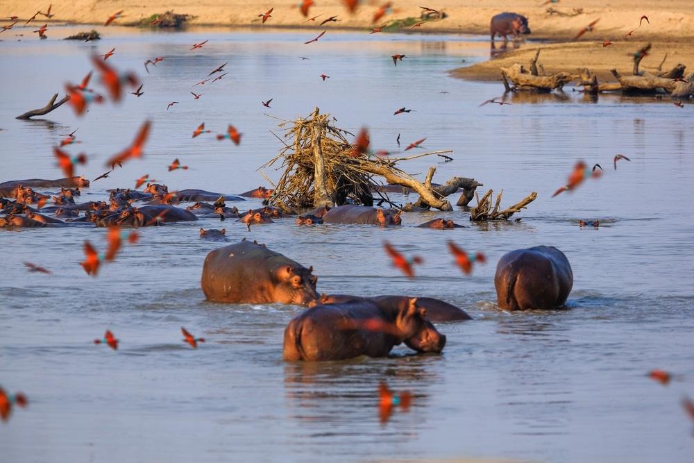 hippopotames en liberte