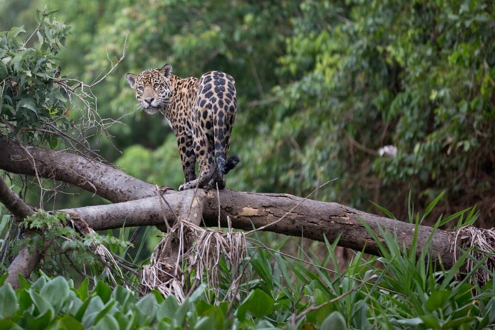jaguar dans le pantanal bresil pour un safari