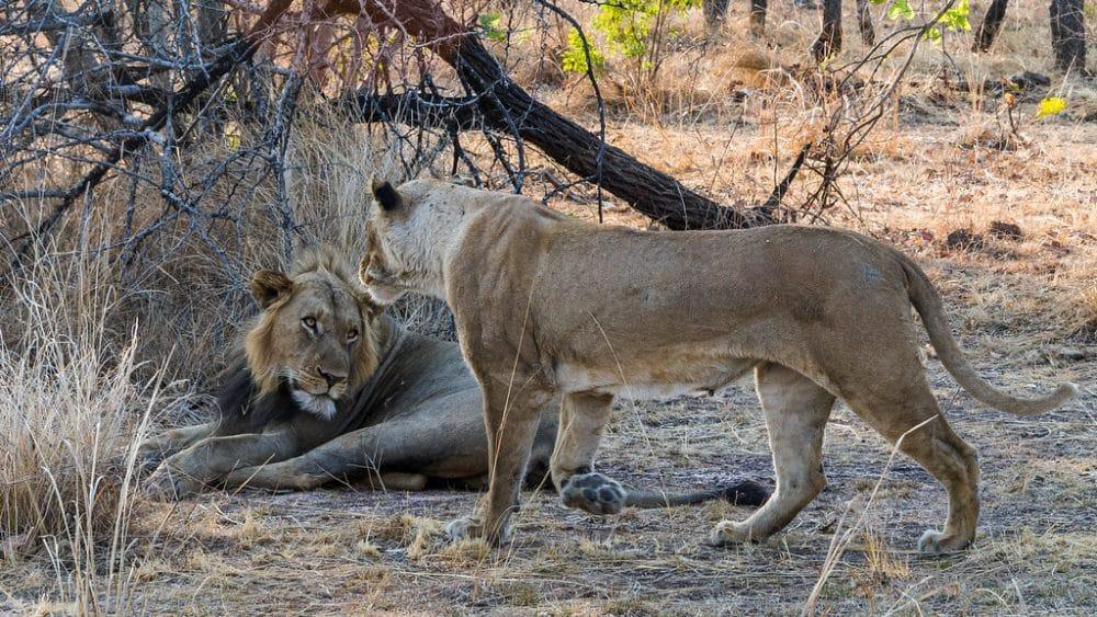 Lion et lionne, réserve naturelle de Kafue