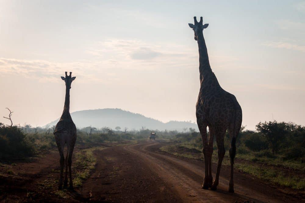 Girafes dans la réserve naturelle de Madikwe