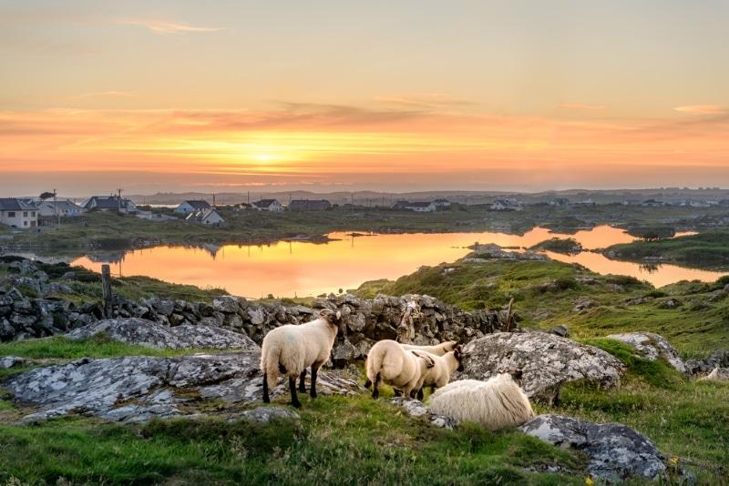moutons connemara coucher de soleil
