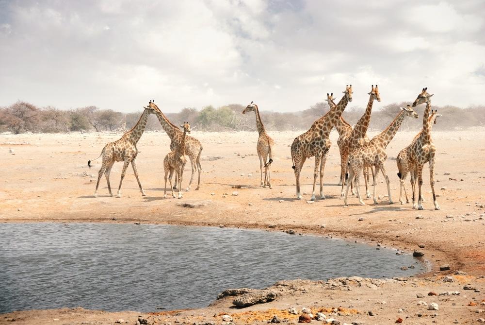 parc national etosha girafes