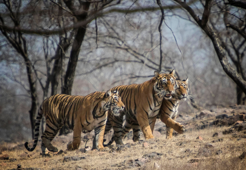 ranthambore park inde safari voir des tigres