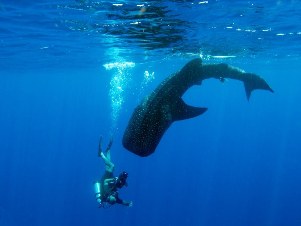 requin baleine belize plongeur vacances ou partir en 2020