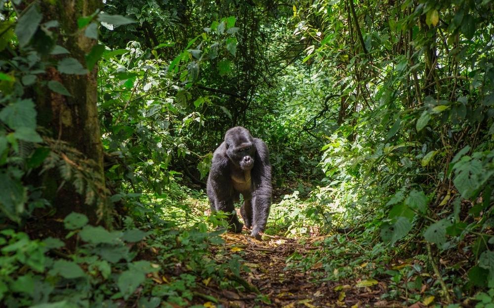 safari monde bwindi ouganda gorilles