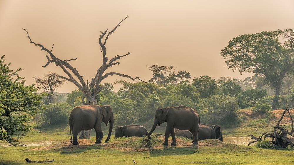 yara sri lanka elephants asie