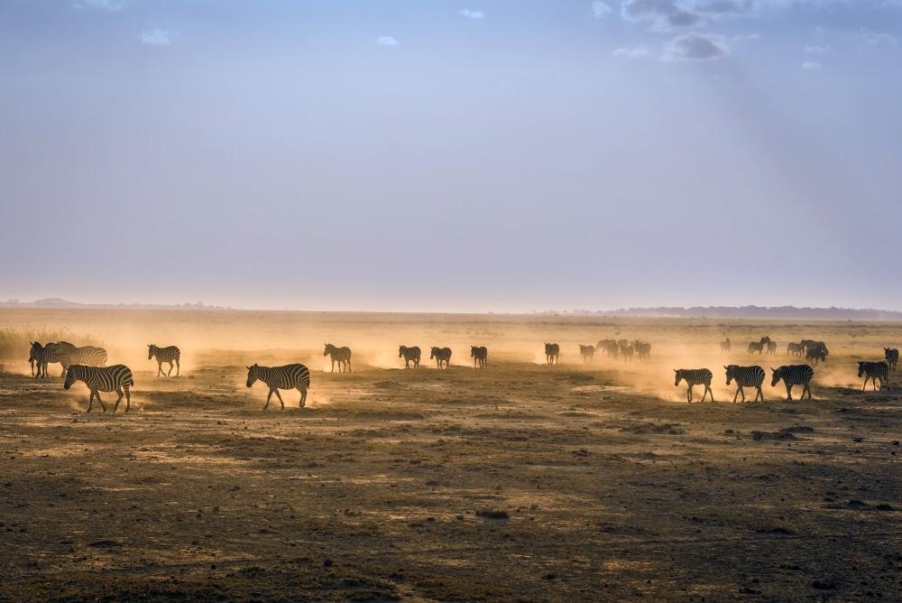zebres dans le rift au kenya