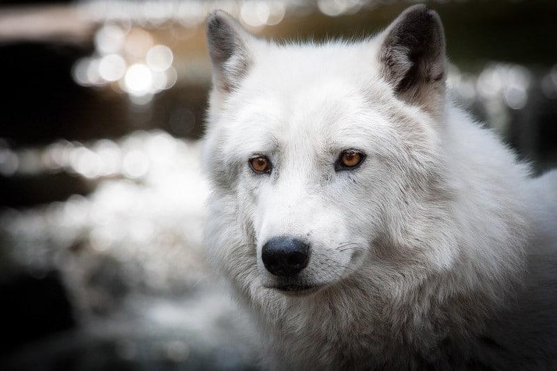 Zoo de la Flèche, loup blanc