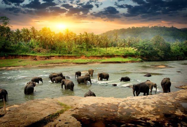 Où et comment observer les éléphants au Sri Lanka ?