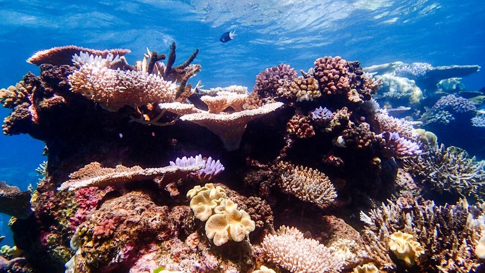 Coraux colorés dans les eaux peu profondes à l'extérieur de la barrière de corail - Grande barrière de corail Australie
