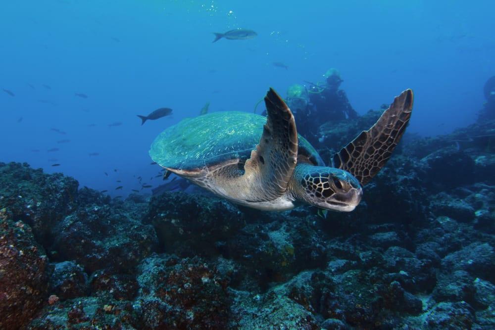 Les îles Galapagos tortue