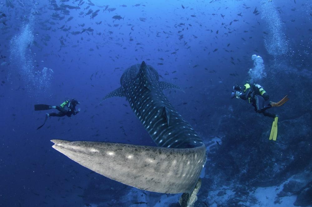 Les plongeurs sous-marins nagent le long d'un requin-baleine pendant qu'il nage à côté, Cocos Island, Costa Rica.