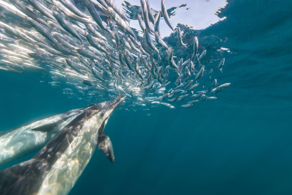 Sardine Run afrique du sud