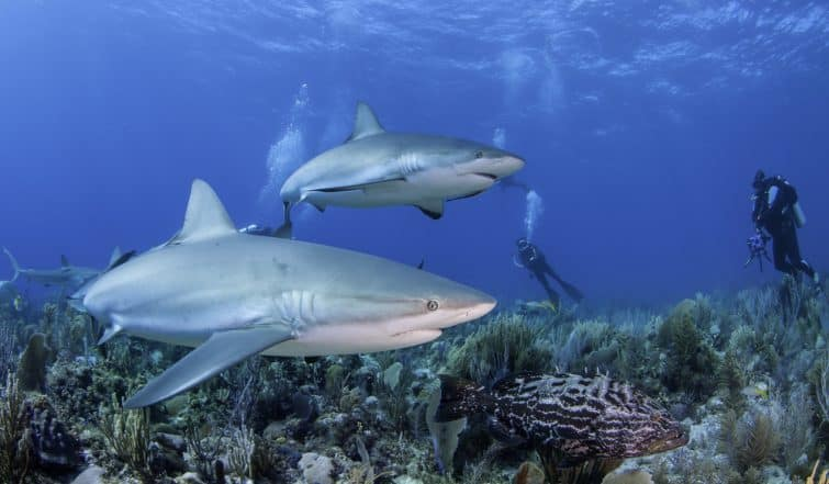 Requins pendant une session de plongée aux Jardins de la Reine