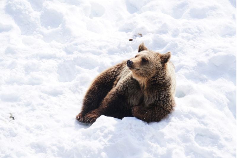 Ours brun dans la neige, zoo de Ranua, Rovaniemi