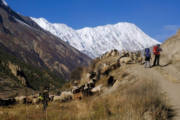 Annapurna Circuit -  paysage avec des moutons, Himalaya