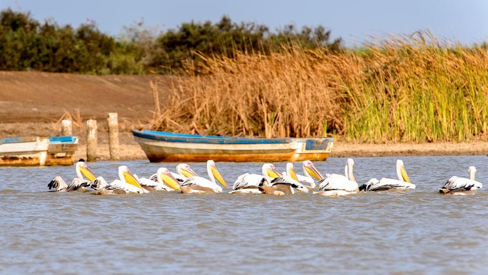 Pélican au sanctuaire national des oiseaux du Djoudj, Sénégal. Patrimoine mondial de l'UNESCO